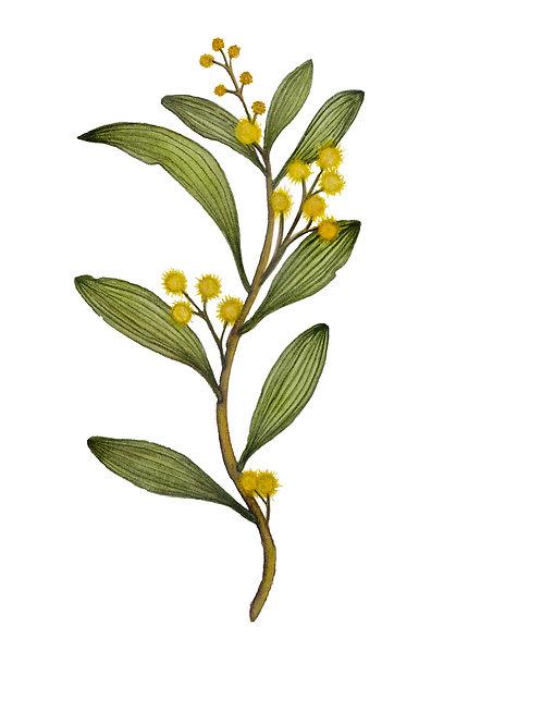 Australian Blackwood, Acacia melanoxylon, 2019