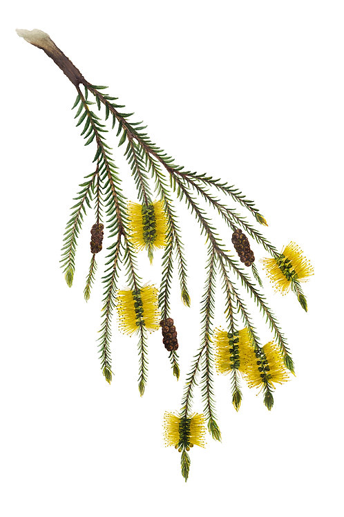 Swamp Paperbark, Melaleuca ericifolia