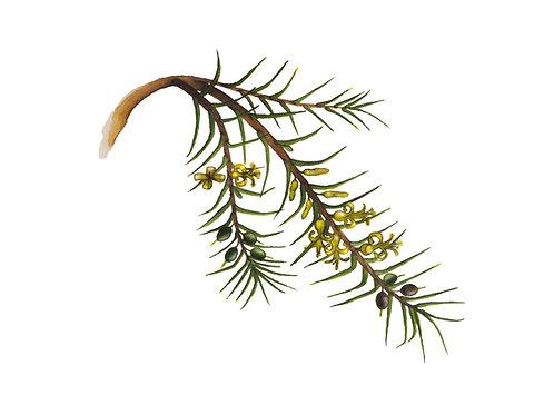 Prickly Geebung, Persoonia juniperina