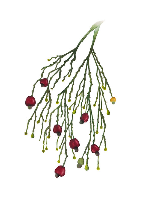 Native Cherry, Exocarpus cupressiformis