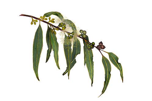 Manna Gum, Eucalyptus viminalis