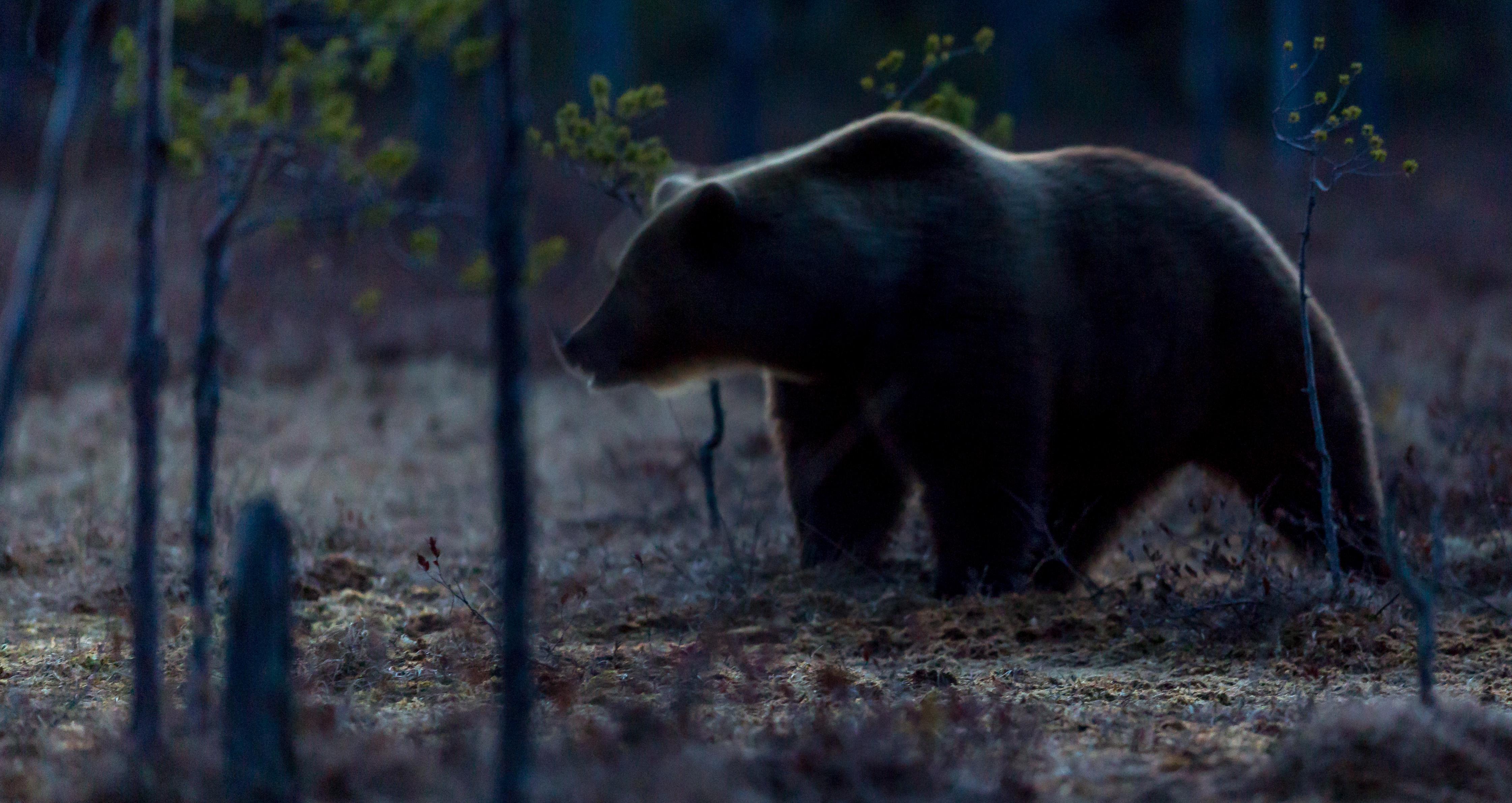 Björn i mörkret