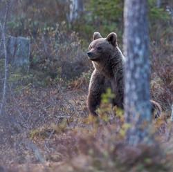 Björn på bakbenen