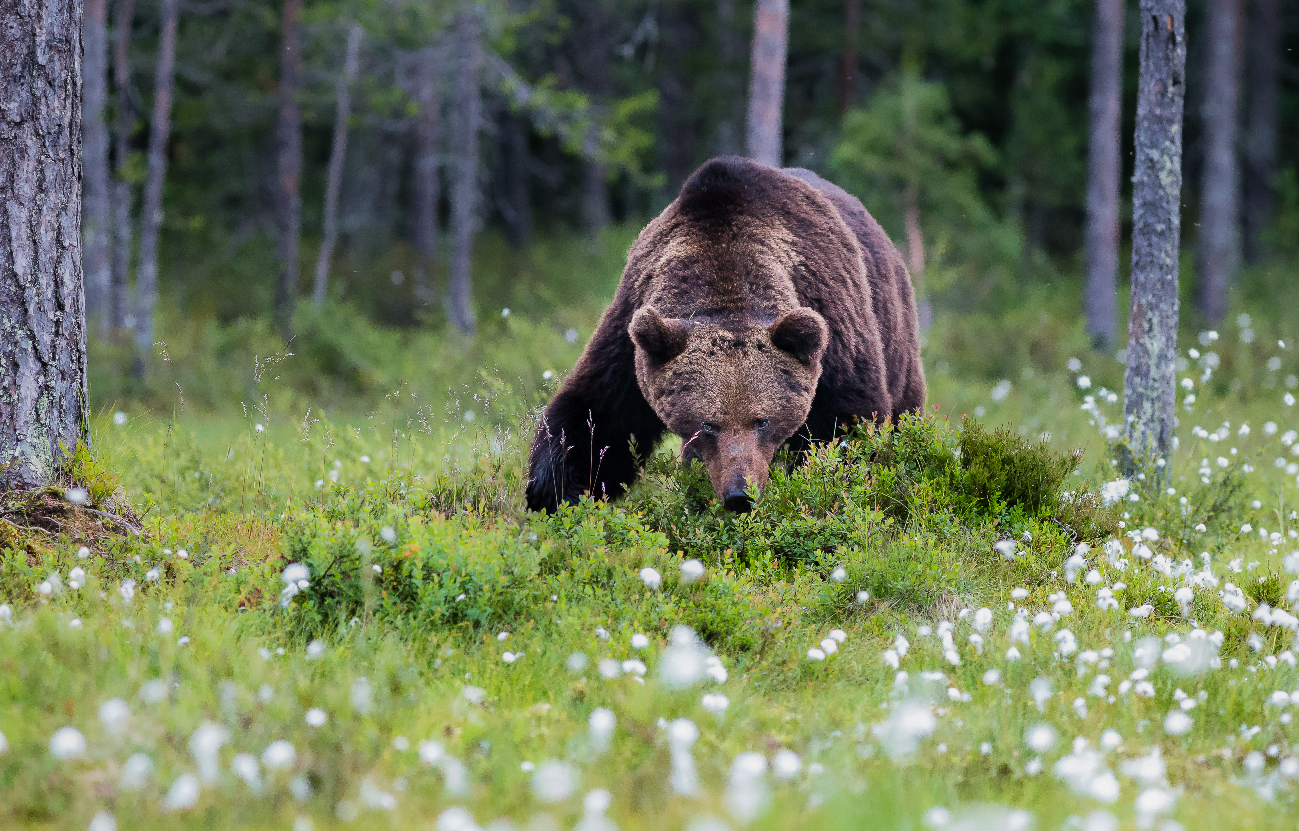 Björn i tuvull