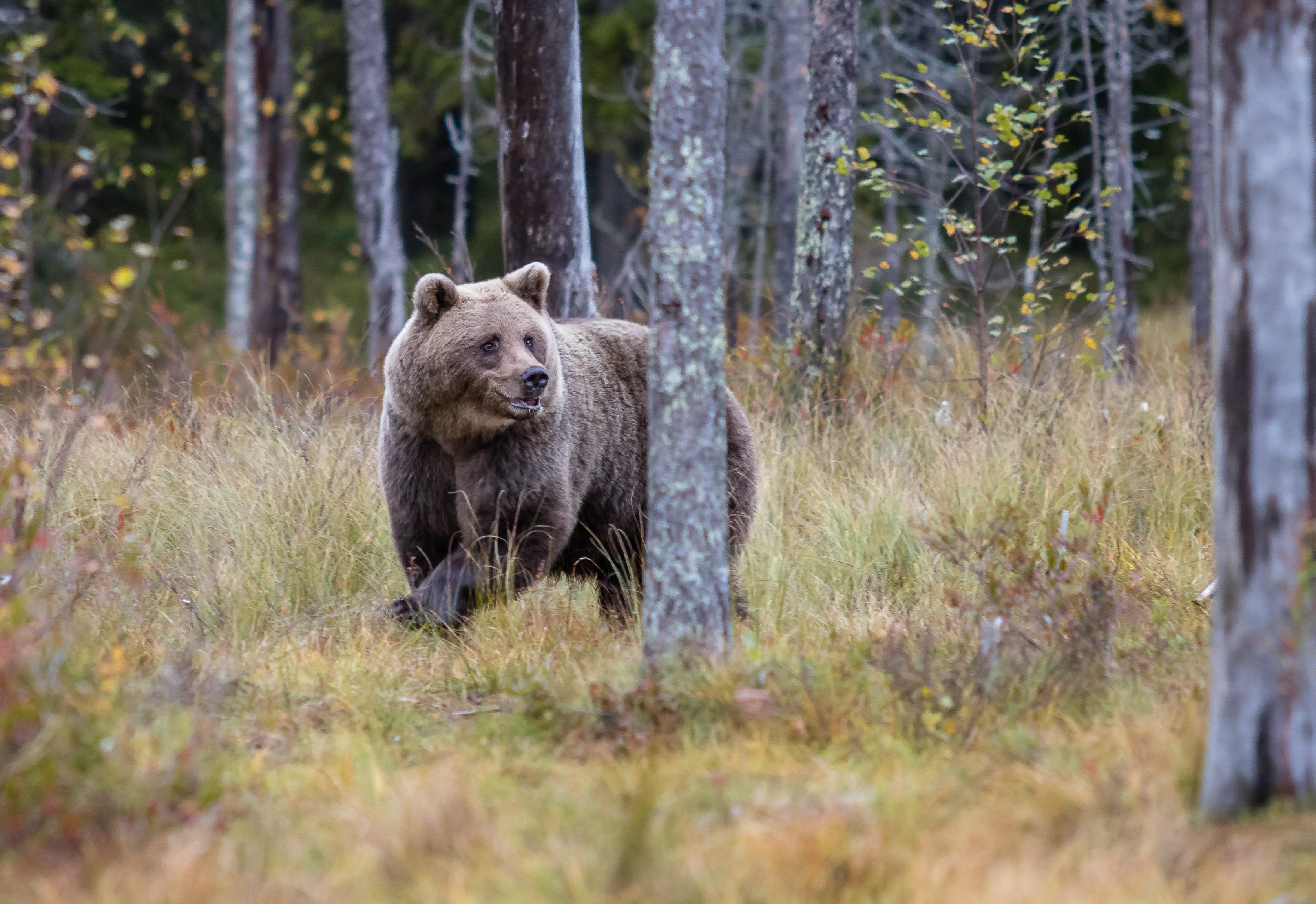Glada björnen
