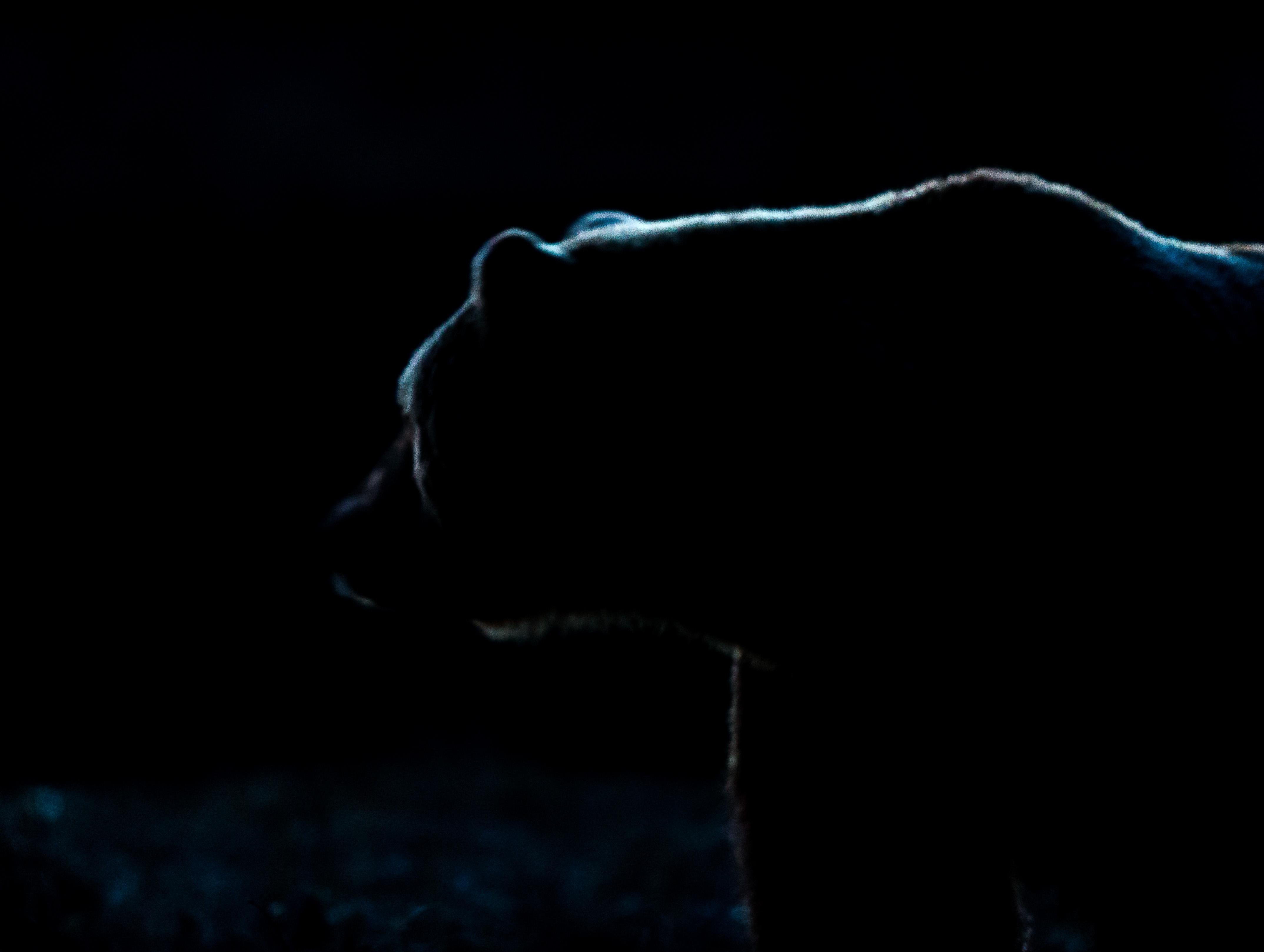 Björnsiluett