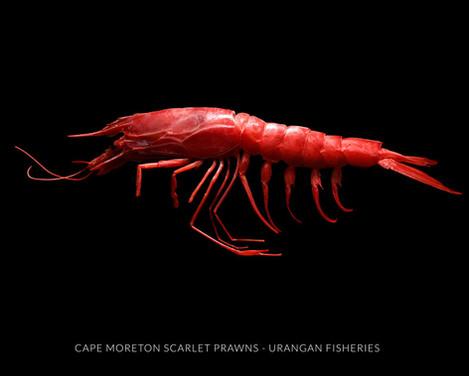 Scarlet Prawn Photography / Urangan Fisheries