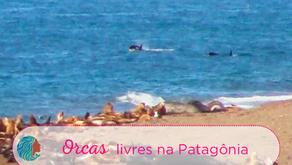 Orcas Livres na Patagônia