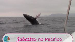 Jubartes no Pacífico