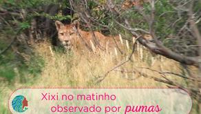 Xixi no Matinho Observado por Pumas