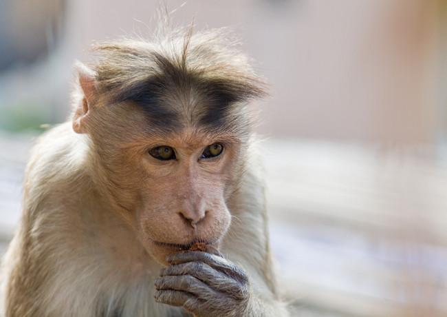 Серьёзная обезьянка в храме Ханумана, Хампи, Карнатака, Индия