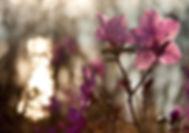 Цветущий багульник, Ольхон