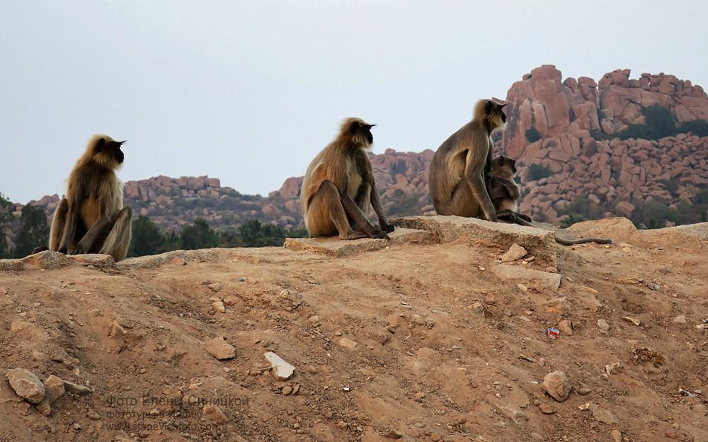 Обезьяны в Хампи, Карнатака, Индия