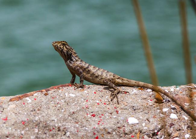 Местный дракон на острове Лантау