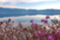 Цветущий багульник на Байкае  мае