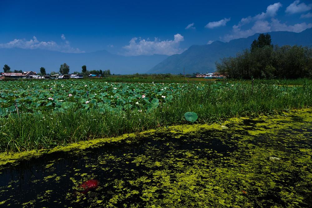 Лотосовая поляна на озере Дал, Шринагар, Кашмир, Индия