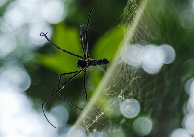 Гонконгский паук