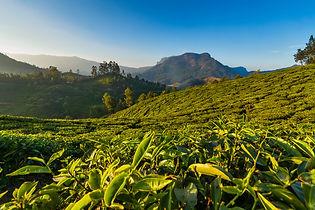 Чайные плантации Муннара, Индия