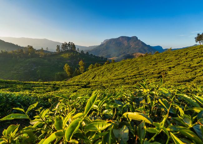 Чайные плантации в Муннаре, штат Керала