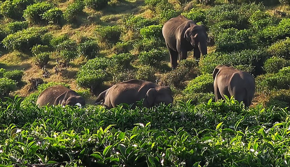 Дикие слоны среди чайных кустов, Муннар, Керала, Индия