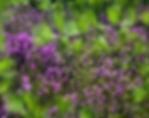 Цветущий багульник на Ольхоне