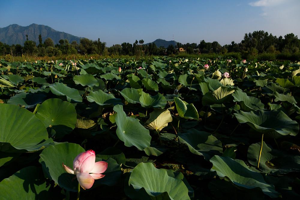Лотосовая поляна на озере Нигин, Шринагар, Индия