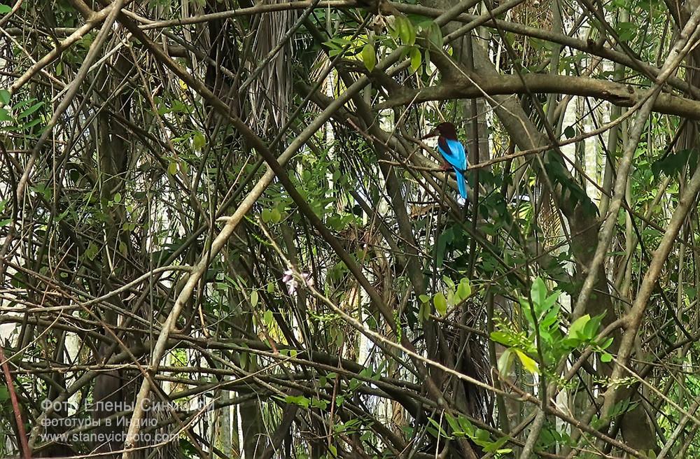 Зимородок, Керала, Индия