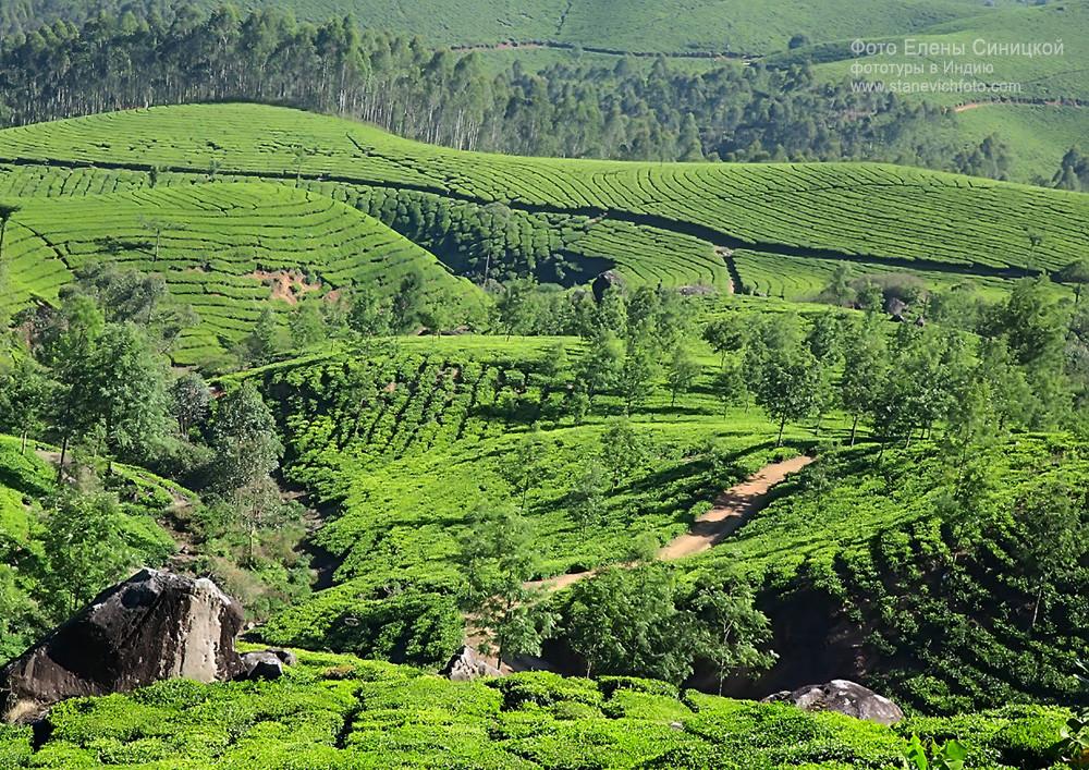 Чайные плантации, Муннар, Керала, Индия