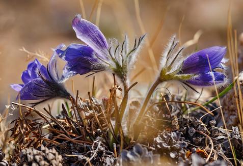 Байкальские первоцветы - ургульки
