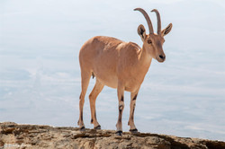 A mountain goat near Mitzpeh Ramon
