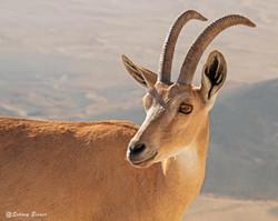 A mountain goat near Mitzpeh Ramon