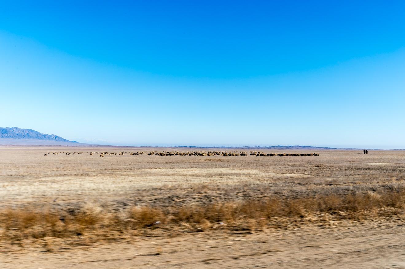 Steppe of Kazakhstan, sheeps