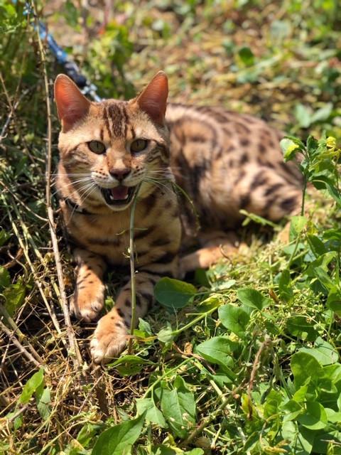 Bengálská kočka na vodítku
