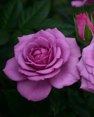 Veranda Roses
