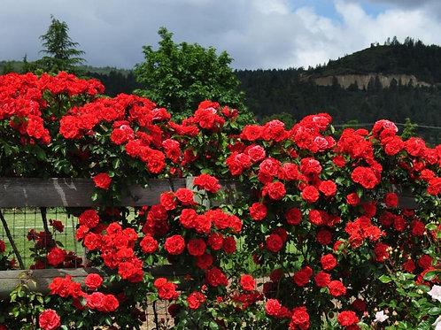 Rose Orange Flare Arborose®