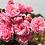 Thumbnail: Rose Summer Romance Parfuma®