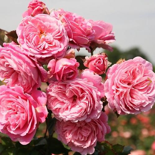 Rose Summer Romance Parfuma®