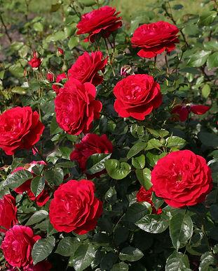 Citiscape Roses