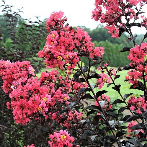 Crape Myrtle Midnight Magic First Editions®