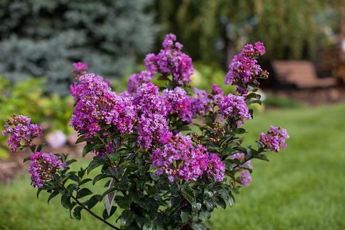 Crape Myrtle Purple Magic First Editions®