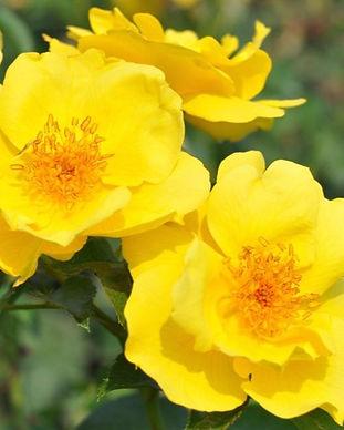 Kolorscape Roses