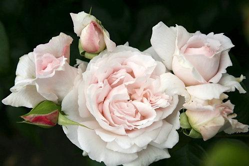 Rose First Crush Parfuma®