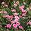 Thumbnail: Rose Sweet Drift®
