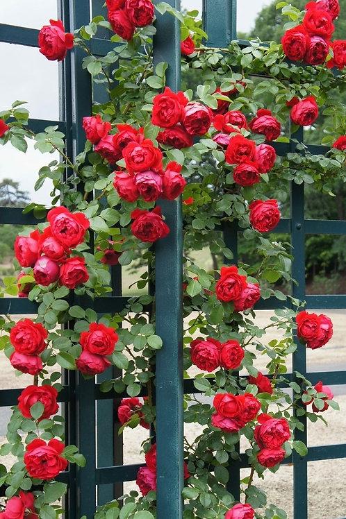 Rose Florentina Arborose®