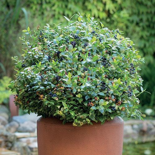 Blueberry Glaze Bushel and Berry®