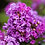 Thumbnail: Crape Myrtle Purple Magic First Editions®