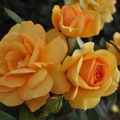 Rose South Africa Sunbelt®