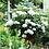 Thumbnail: Hydrangea Endless Summer® Blushing Bride