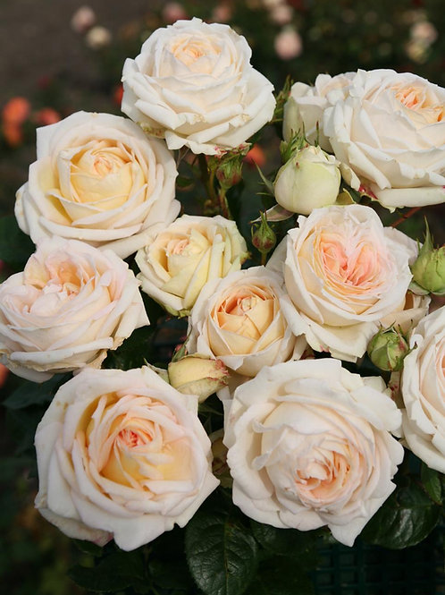 Rose Madame Anisette Parfuma®