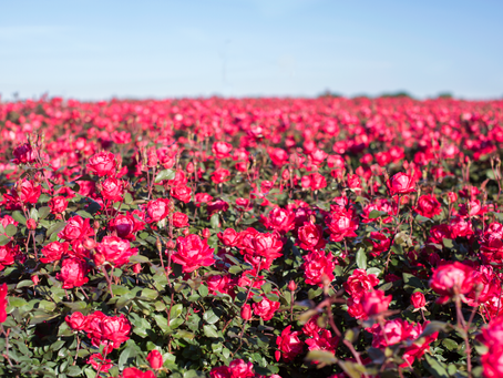 Rose Ramblings, Part 1